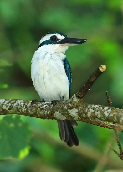 ofu-collared-kingfisher