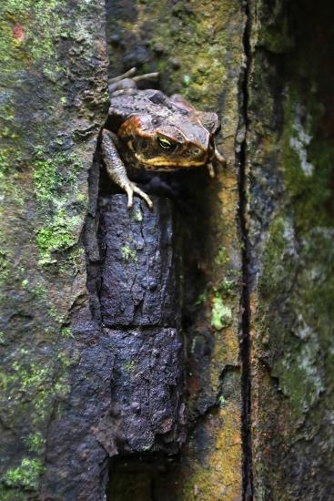 toad-hinge